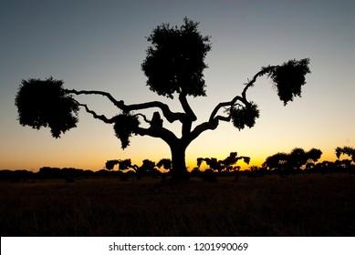 tree at sunset, holm oak, Quercus ilex, Spain