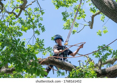 A Tree Surgeon or Arborist adjusts his safety ropes while standing high up a tree.