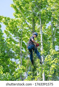 A Tree Surgeon or Arborist with a chainsaw working up a tree