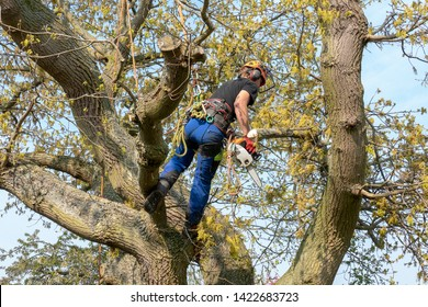 Tree Surgeon or Arborist using safety ropes and a chainsaw up a tree .