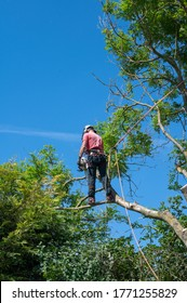 A Tree Surgeon or Arborist using safety ropes stands on a tree branch cutting off branches.