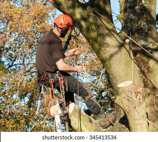 Tree surgeon hanging from a branch of a large tree whilst felling it.  The male worker is wearing full chainsaw safety equipment and has a chainsaw attached to his waist.
