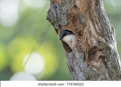 Tree Swallow adult nesting in dead tree trunk with green background