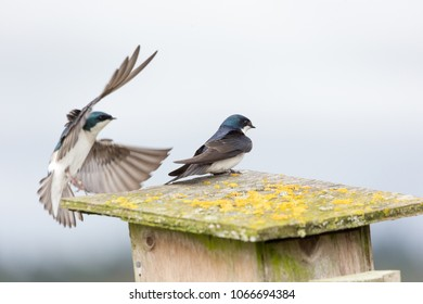 tree swallow bird  at Vancouver BC Canada
