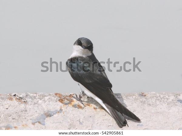 Tree Swallow (female)