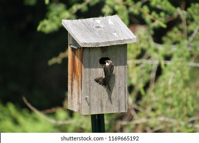 A tree swallow perched outside of a grey birdhouse on a pole with green vegetation in the background