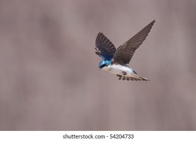 A tree swallow (tachycineta bicolor) in flight.
