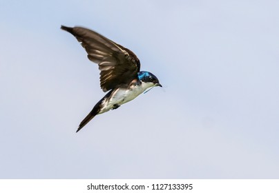 Tree swallow (Tachycineta bicolor) flying with insects in the beak, Iowa, USA
