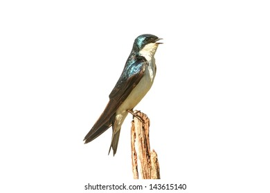 Tree Swallow (tachycineta bicolor) on a stump isolated on a white background