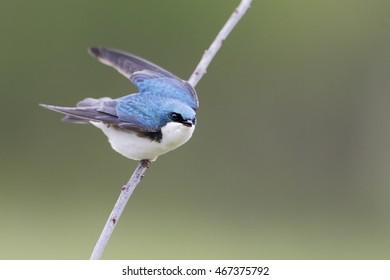 Tree swallow (Tachycineta bicolor) on small branch, Bombay Hook NWR, Delaware, USA