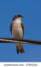 A Tree Swallow -Tachycineta bicolor - is perched on an electric wire,  enjoying a warm and sunny day. Quebec, Canada.