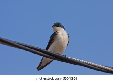 A Tree Swallow -Tachycineta bicolor - is perched on an electric wire by a sunny day. Quebec, Canada.