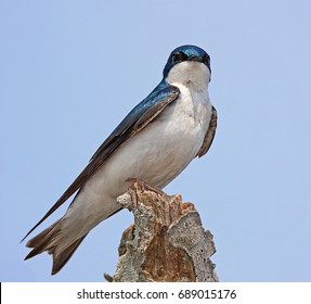 A Tree Swallow (Tachycineta Bicolor) Perched on a Tree