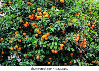 Tree with tangerines in Greece