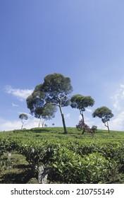 Tree In A Tea Plantation