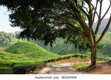 A tree and tea plantation on the mountain in the background - Cameron Highlands, Malaysia