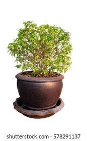 tree in Terracotta pots isolated clipping path white background.