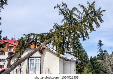 The tree that after the storm fell on the roof of the house and damaged it.