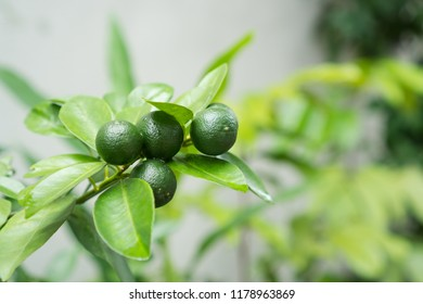 a tree that bears calamansi fruit