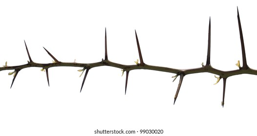 Tree thorns isolated on white background