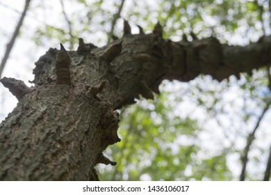 Tree with thorns that are bent in the tropical forest