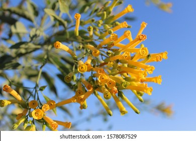 Tree Tobacco (Nicotiana glauca) lush yellow blloming flower branch blossom in tropical sunny day with a blue sky on background.
