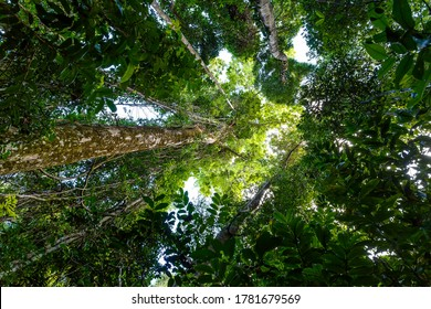 tree top in rainforest jungle,Masoala National Park in Madagascar, a UNESCO world heritage site, woodland with tropical climate, Africa Madagascar wilderness