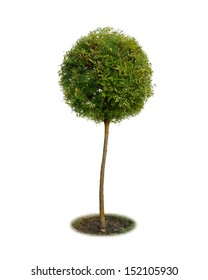 Tree topiary isolated on white