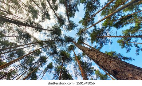 Tree tops against blue sky. Pine forest is a natural resource.