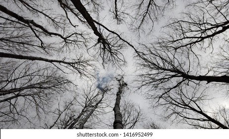 Tree tops in early spring under overcast sky