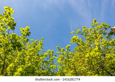 tree tops in forest growing to the blue sky. fighting for future