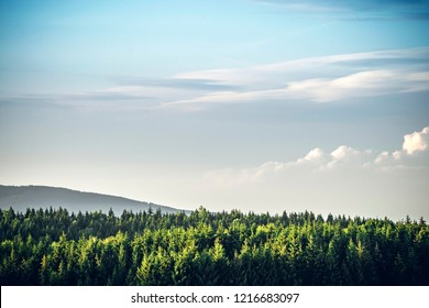 Tree tops  in a pine tree forest under a blue sky on a hill