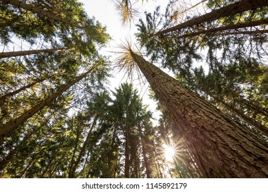 Tree tops with sun in the coniferous forest