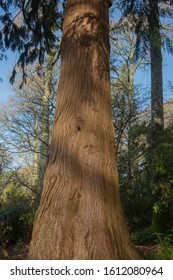 Tree Trunk and Bark of a Pacific or Western Red Cedar (Thuja plicata) in a Shady Woodland Garden in Rural Devon, England, UK