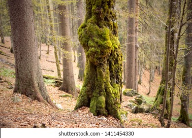 Tree trunk covered with moss. Thick moss overgrown the tree in the forest.
