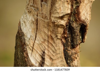 Tree trunk gnawed at by a beaver