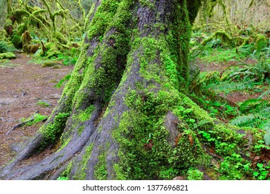 Tree trunk with green mosses along the epic hall of mosses trail at Hoh Rainforest, Olympic National Park, Washington USA.