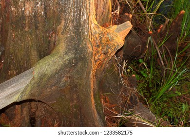 Tree trunk grown over an old board in Florida