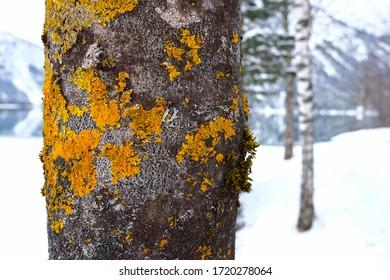 Baumstamm mit Moos auf der Rinde vor einer Winterlandschaft als Nahaufnahme.
