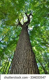 Tree trunk, oak old green.