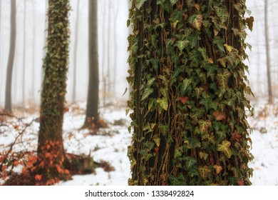 Tree trunk overgrown with ivy in a foggy forest early in the morning in winter with light snow