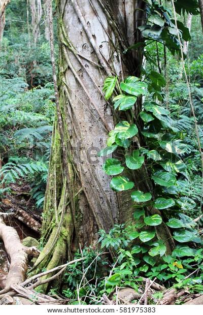 A tree trunk overgrown with vines and greenery. Hawaiian rainforest near Manoa Falls, Honolulu, Oahu