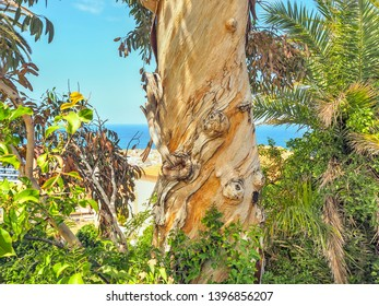 Tree trunk of a peeled eucalyptus tree, which has turned three times around itself. Surrounded by different green tones of the surrounding plants.the Atlantic in the background is blue, as is the sky.