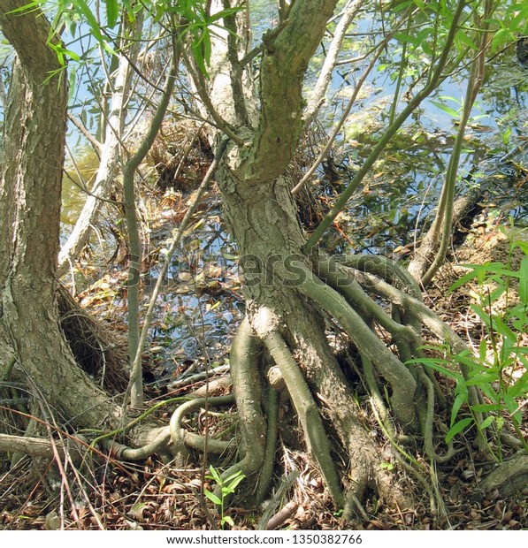 tree trunk roots exposed near the edge of a waterway