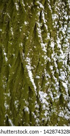 Tree trunk snow and algae texture