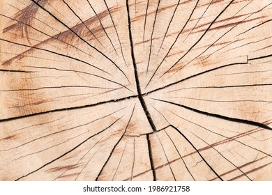 Tree trunk texture. Cross-cut of a tree trunk with cracks due to improper drying of the wood. Close-up of a log sawn across.