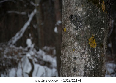 Tree trunk textured bark tree, close-up. Winter season, snow.