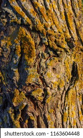 Tree trunk of a white willow, Salix alba, with moss and lichen in evening sun