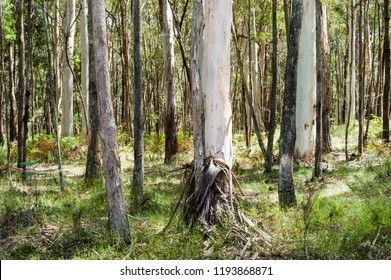 Tree trunks in Australian forest near Melbourne, Victoria, Australia