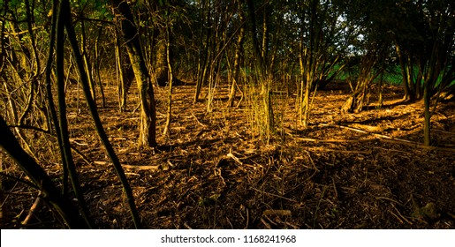 tree trunks and brown leaves in sunlight. National park Biesbosch in fall, The Netherlands